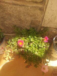 planta verde con flores rosas