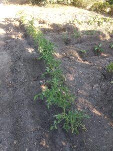 huerto tomates en flor